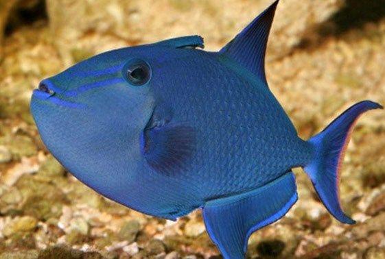 Niger Trigger Saltwater Fish Tanks Marine Fish Sea Fish