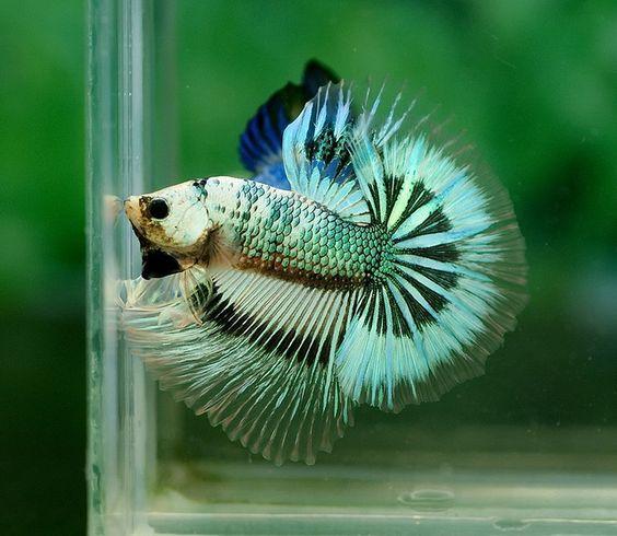Green marble butterfly fancy bettas pinterest for Butterfly betta fish