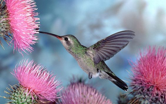 Hummingbird x