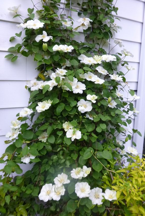 A healthy happy Clematis is a fast grower and is filled with flowers so to keep your plant in good shape you must feed it properly. In spring you will need a low nitrogen fertilizer such as 5-10-10. This should be done once the bulbs are 2 inches long. Alternate feedings every 4 to 6 weeks with a balanced 10-10-10 fertilizer