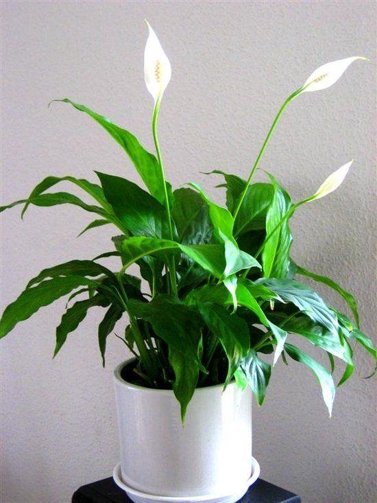Rosliny Oczyszczajace Powietrze 20 Gatunkow Do Twojego Domu Plants Herbs