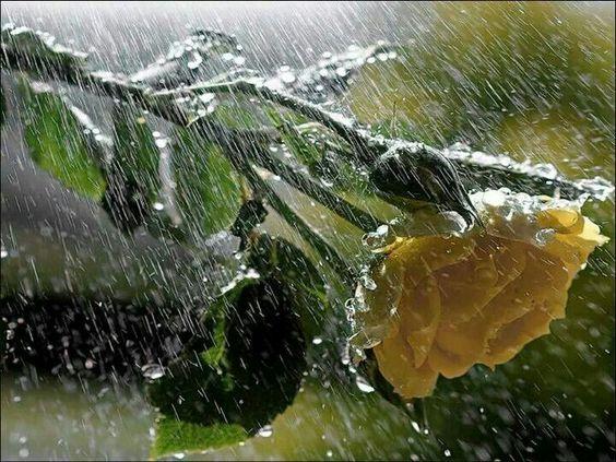 Rosa y lluvia.