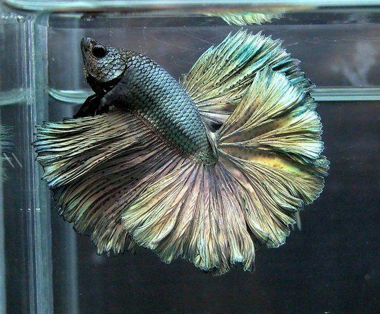 Copper, Betta and Fish on Pinterest  Copper, Betta a...