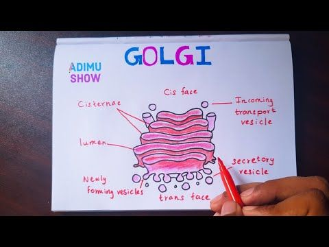 How To Draw And Label Golgi Apparatus Step By Step Tutorial Youtube Science Diagrams Body Diagram Animal Cell Project