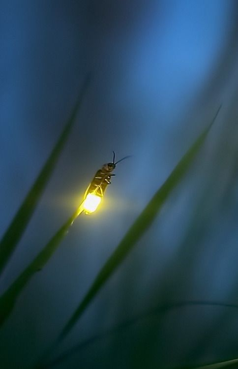Firefly Bug At Night