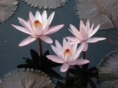 Learn how to plant a waterlily - in a pot or in a pond.