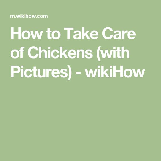 How to Take Care of Chickens (with Pictures) - wikiHow
