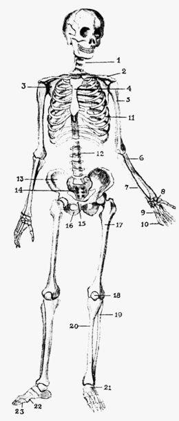 腸骨 - Wikipedia