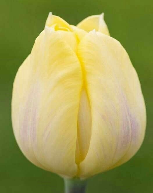Pin By Blumenmann Diy Blumenkreatione On Tulipanet Planting Bulbs Beautiful Flowers Tulips Flowers
