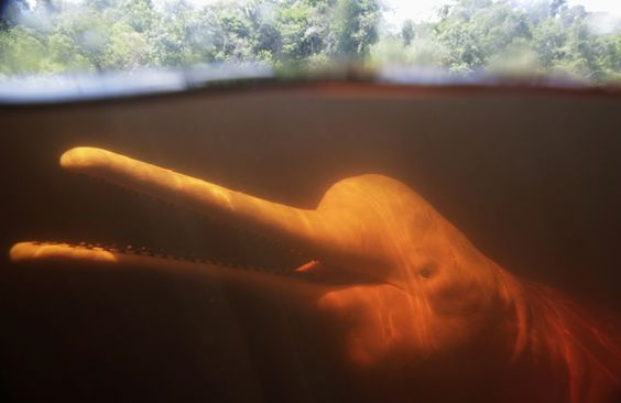 New Brazilian River Dolphin Species Discovered in Araguaia River. Photo: Reuters