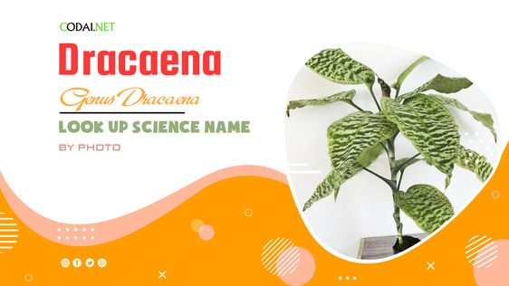 Look up Science Name by Photos: All species from genus Dracaena