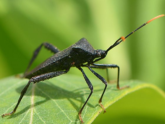 Real Insect Frame Leaf-footed bug in Box Frame Entomology Frame. Coreidae