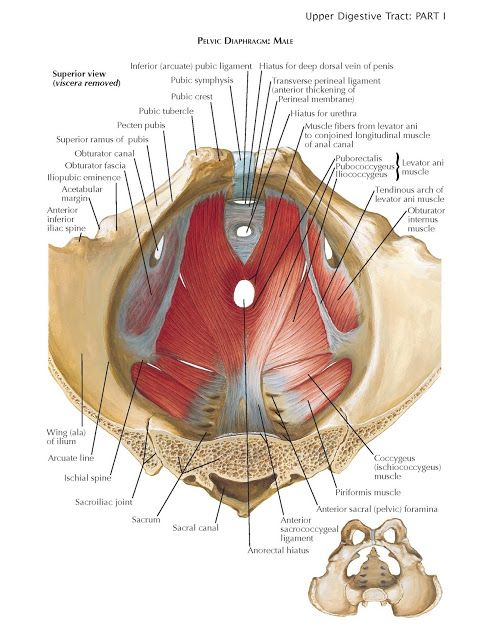 Floor Of Abdominopelvic Cavity The Outlet Of The Pelvis Inferior