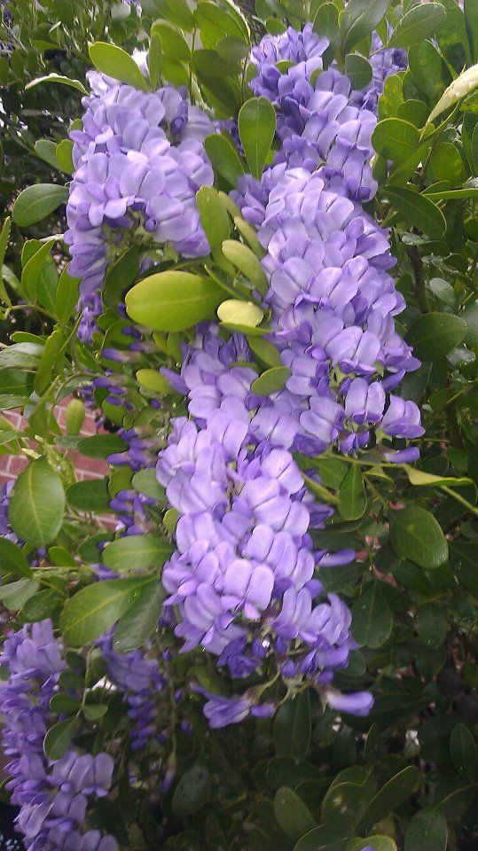 Texas Mountain Laurel. They smell so fantastic, and are really pretty as well.