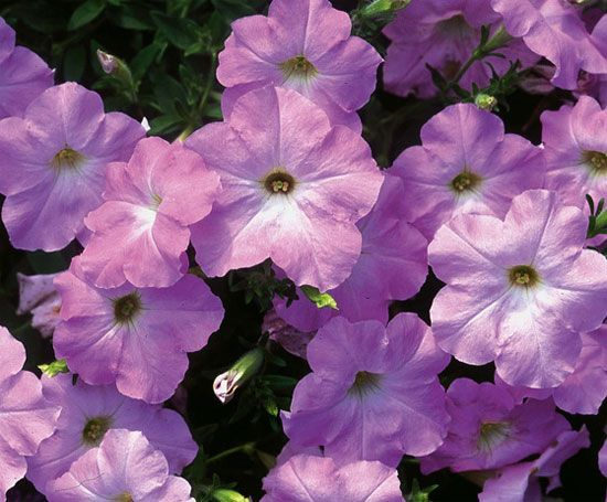 Flower of the Day: Petunia