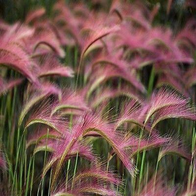 Foxtail barley ornamental grass seeds hordeum jubatum 50 for Decorative grasses full sun