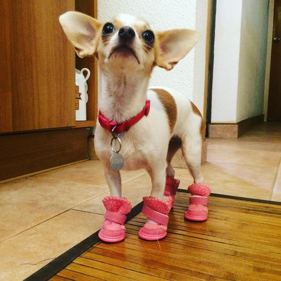 With my new big shoes! Chihuahua