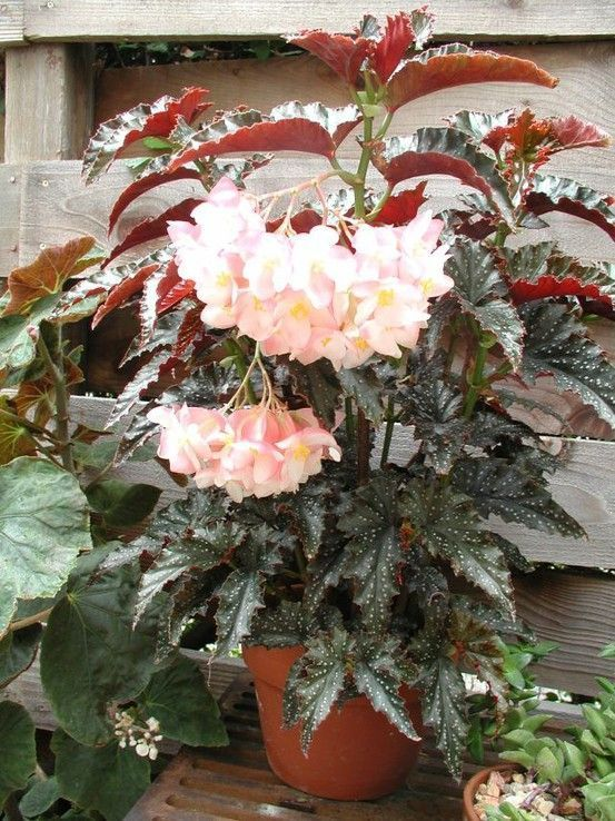 Gorgeous Angel Wing Begonias Are So Easy To Grow Care Tips Www Houseplant411 Angel Begonias Care Easy Gorgeous Grow In 2020 Begonia Beautiful Flowers Plants