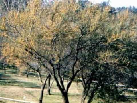 El Aromo Atahualpa Yupanki