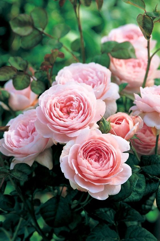 'Queen of Sweden' | David Austin English Rose: