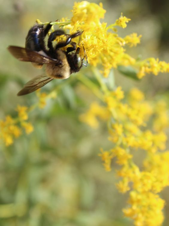 a bumble bee on a yellow wildflower