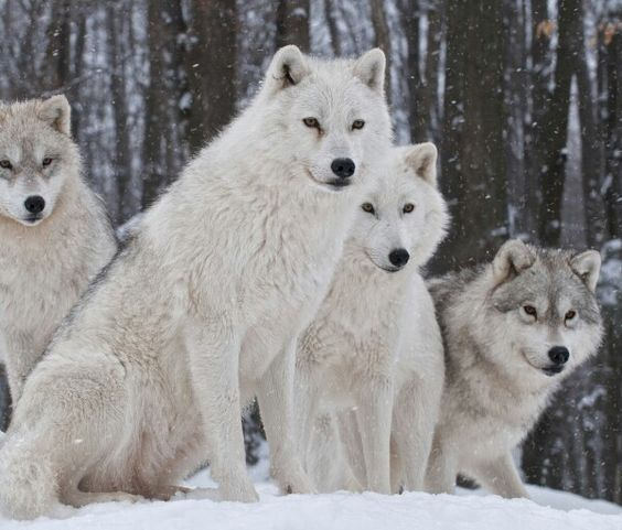 Pack Of White W...