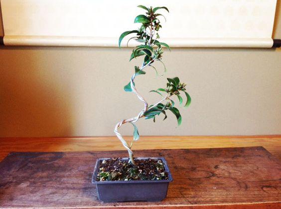 盆栽紺侘助