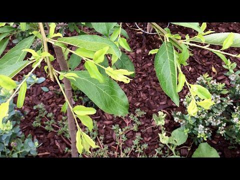 Update Ultra Dwart Santa Rosa Plum Youtube Santa Rosa Urban Garden Plum Fruit