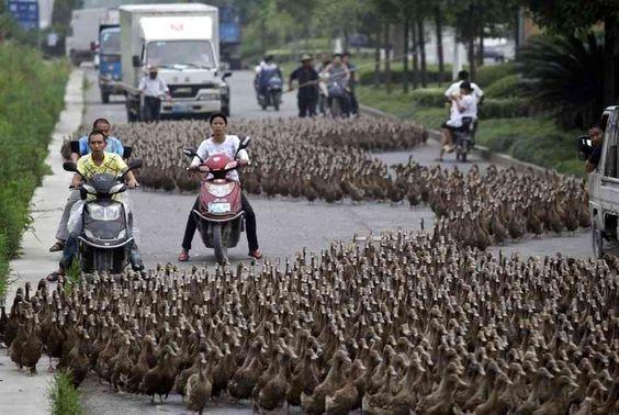 5.000 patos dividem o transito em seu caminho para uma lagoa