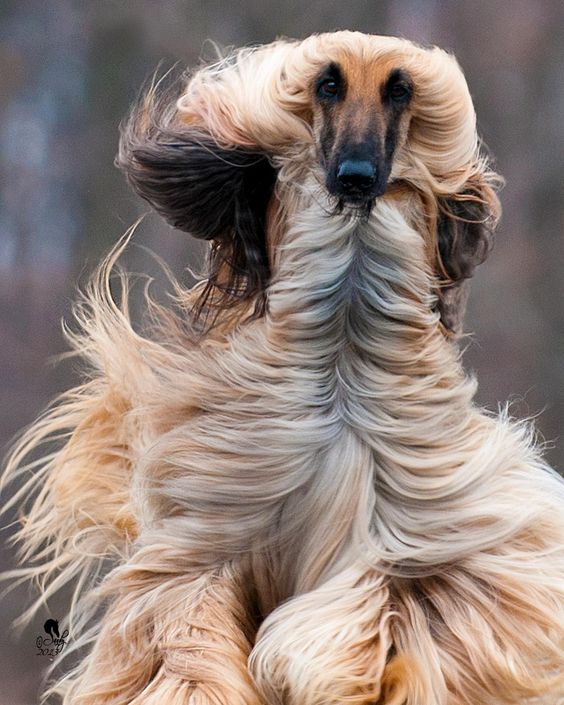 This Afghan hound's hair looks magnificent as he runs!