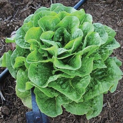 "Lettuce 'Winter Density': 8"" tall cos, winters over well. Sowed 4 Sept."