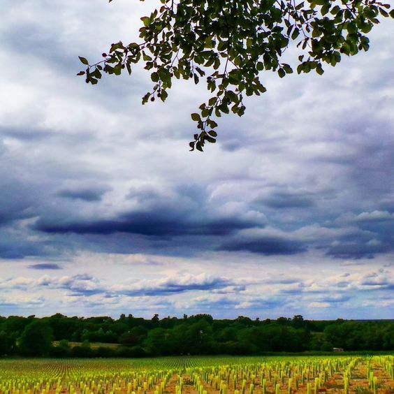 An entire field of newly planted vines under a menacing sky in Plumpton..