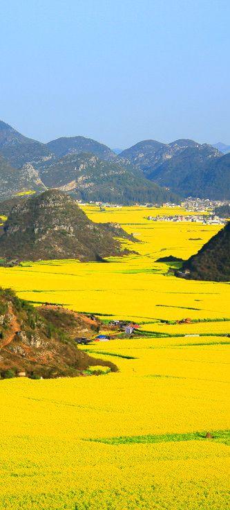 Canola flower fields, China
