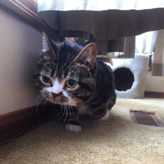 Mondays Amiright Gimli AdoptDontShop CatsOfInstagram - Kitten born with dwarfism is half the cat but twice as cute