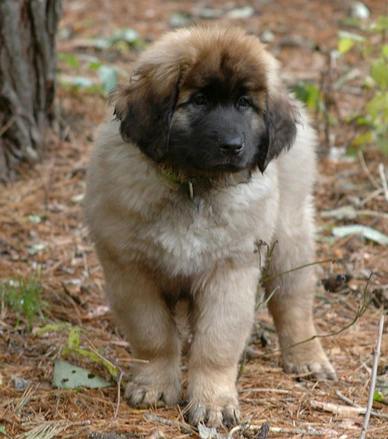 Explore leonberger nation leonberger dog and more the o jays forests