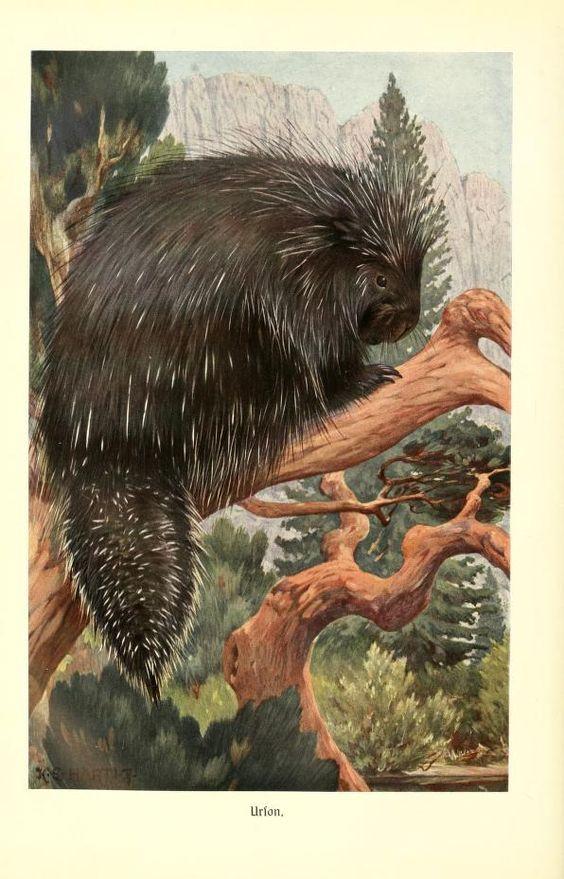 Porcupine, Brehms Tierleben: Allgemeine kunde des Tierreichs, Vol XI, Alfred Edmund Brehm, 1911.