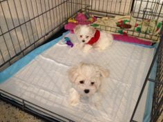 How to potty train a Puppy? | All about and for the Maltese Dog