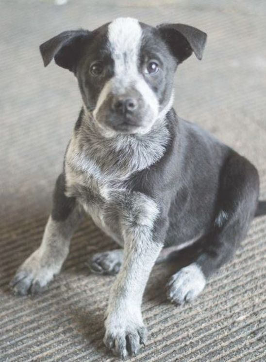 Mohawk Adoptable Dog Puppy Male Australian Cattle Dog Blue Heeler Avec Images