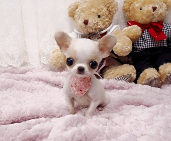 Adorable Amazing Lil Micro Teacup Chihuahua Amethyst ~ Darling Lil Micro Light Cream Baby Available!
