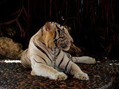 ***Angekettet*** .............................***Weißer Tiger ***