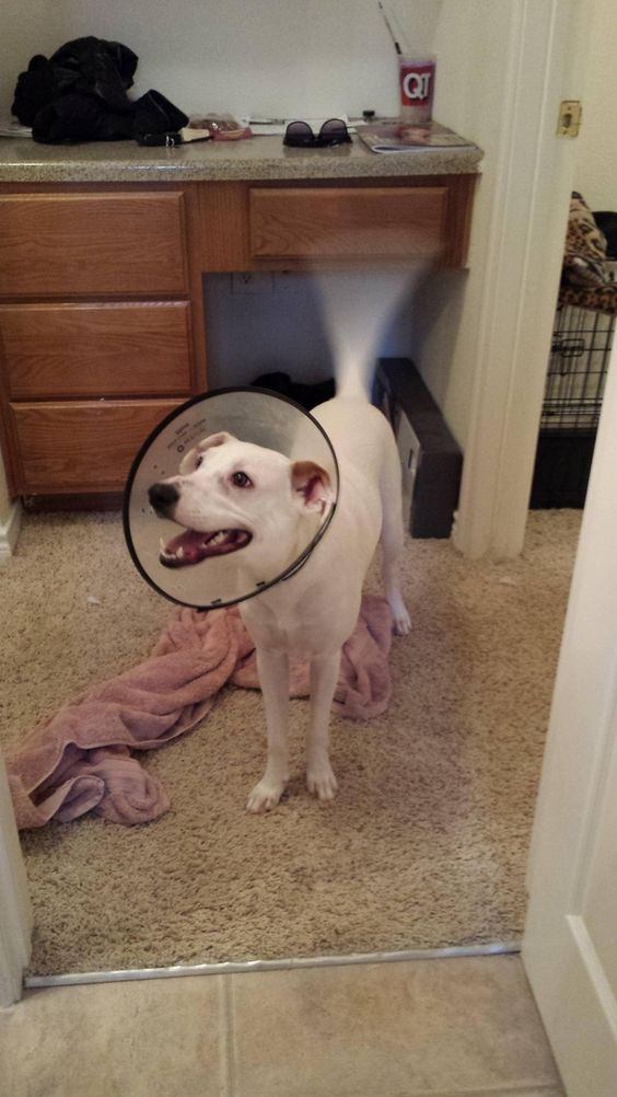 Despite just being neutered he is the happiest little lampshade #cute #despite #neutered #happiest #little #lampshade #entertainment #interesting