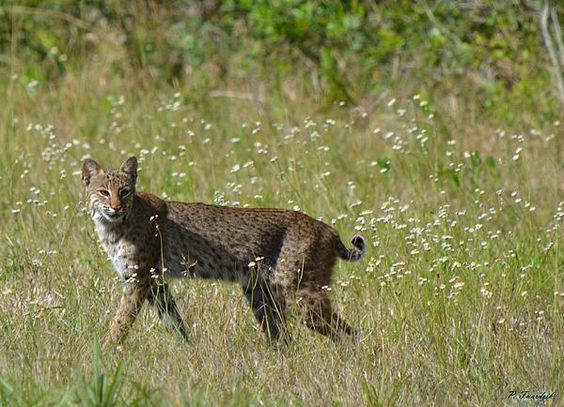 A large female bobcat is spotted strutting by the edge of a Florida wooded area.