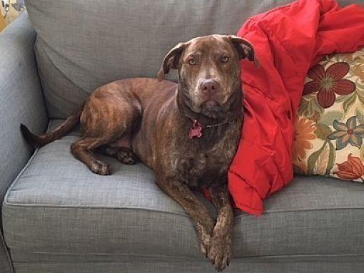 Flemington Nj Labrador Retriever Meet Bree A Pet For Adoption With Images Labrador Retriever Pets Dog Adoption