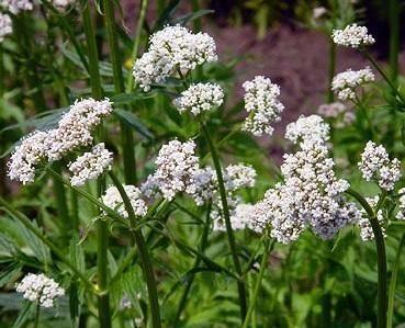 Como são as plantas medicinais mais comuns. As ervas medicinais tem sido usadas pelo homem à séculos com a finalidade de aliviar e melhorar vários desconfortos e problemas de saúde.