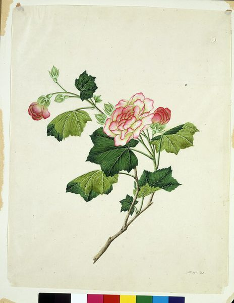 Chinese mallow (Painting), Guangzhou, China, 1800 - 1830 | V Search the Collections: