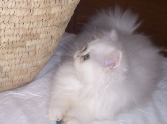 ......one of our Chinchilla Persian kittens..a very favorite