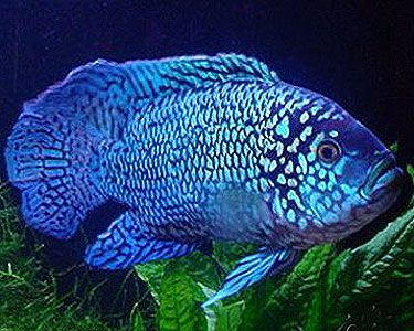 electric blue jack dempsey fish - Google Search ...