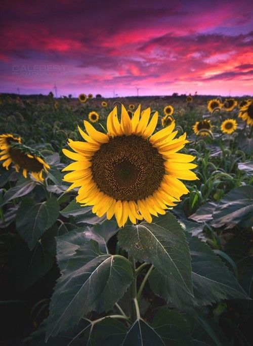 soul-of-an-angel:  Sunflowers at Sunset  Blenheim Ontario ...