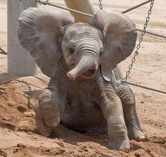 pygmy elephant size it adorable pygmy elephants
