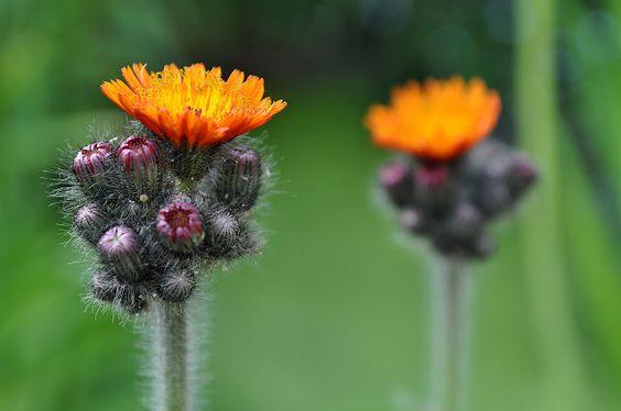 """Devil's paintbrush """"hieracium aurantiacum"""" ... hawkweed  (Orangerotes Habichtskraut)"""